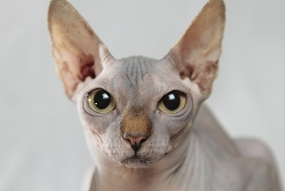 145 Names for Hairless Cats