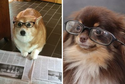 18 Dogs Who Look So Smart In Glasses