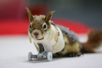 Armless Squirrel Outfitted With Prosthetic Wheels & OMG, Science Is ~Awesome~