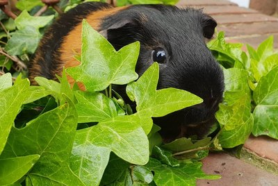181 Names For Your Guinea Pig