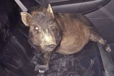 Pig Wrangled Into Cop Car For The Funniest Reason