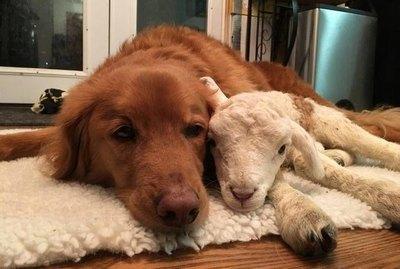17 Animals And Their Adopted Babies