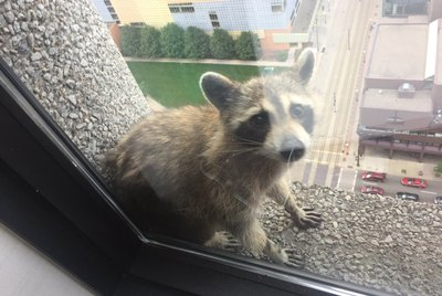 10 Raccoons Going Viral For All The Wrong Reasons