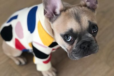 18 of the Cutest French Bulldogs on the Internet