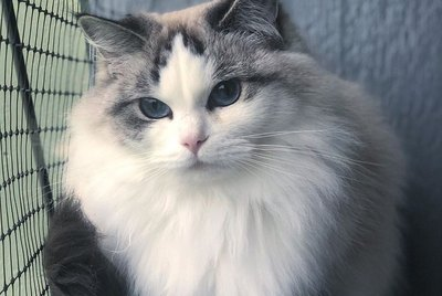 17 Of The Prettiest Ragdoll Cats On The Internet