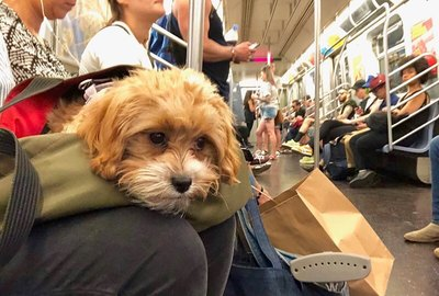 22 of the Cutest Dogs in Bags Riding NYC Trains