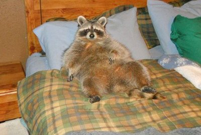 20 Chubby Raccoons Who Ate All The Foods