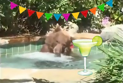 Bear Spotted Napping In Tree After Breaking Into Hot Tub & Stealing A Margarita