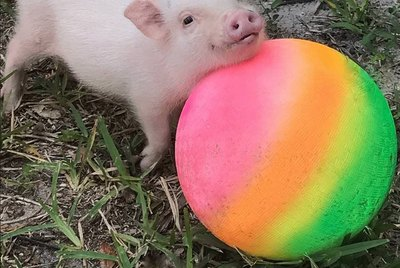 16 of The Cutest Little Piggies on The Internet