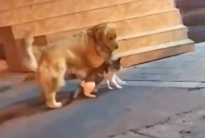 Golden Retriever Squashes Cat Beef Like a Champ