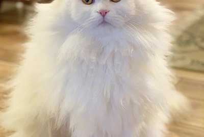 18 Extremely Fluffy Cats for Your Enjoyment