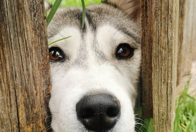 26 Dogs Peeking at You Through Fences