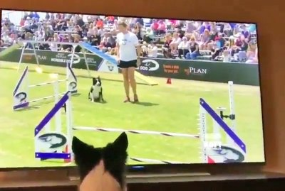 Video of Excited Dog Watching Her Own Agility Highlight Reel Is Peak Cuteness