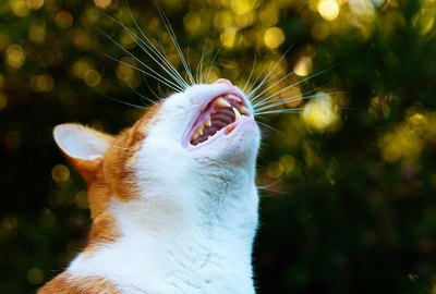 What Does It Mean When a Cat Yowls?