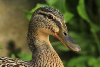 How Many Eyelids Do Ducks Have?