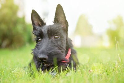 Types of Dogs With Pointy Ears