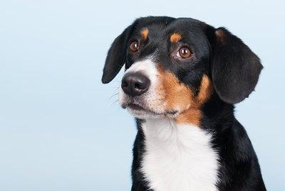 Entlebucher Mountain Dog Breed Facts & Information