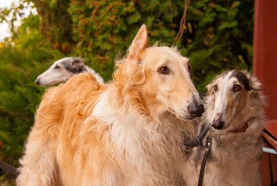 What is a Sighthound?