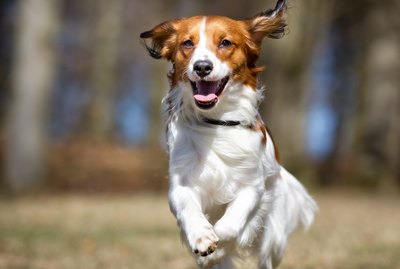 Meet The American Kennel Club's Latest Dog Breeds