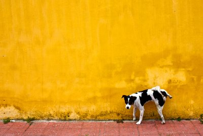 Why Do Some Dogs Aim So High When They Pee?