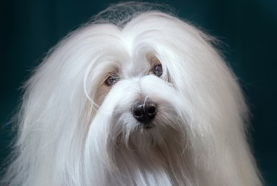 Coton de Tulear Dog Breed Facts & Information
