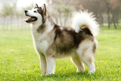 Malamute Dog Breed Facts & Information