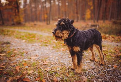 Jagdterrier Dog Breed Facts & Information