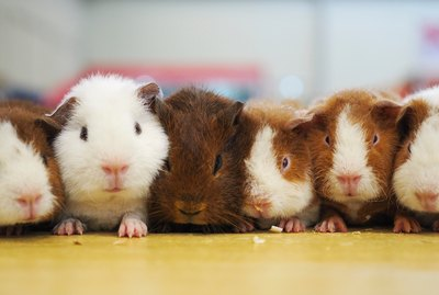 Do Guinea Pigs Make Good Pets?