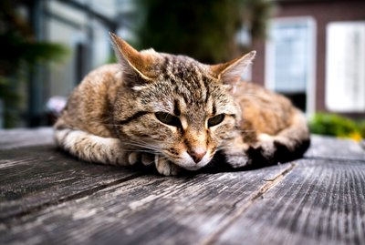 All About Hip Dysplasia in Cats