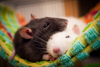 Do Rats Make Good Pets?