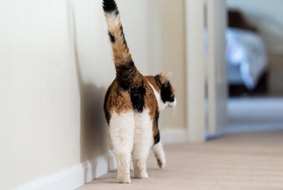 Why Do Cats Put Their Butts in Your Face?