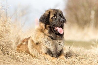Leonberger Dog Breed Facts & Information