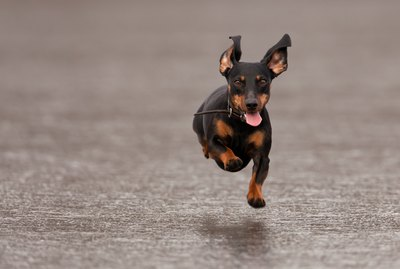 Here Are Some Wiener Dogs Racing On Ice To Make Being Back To Work Better