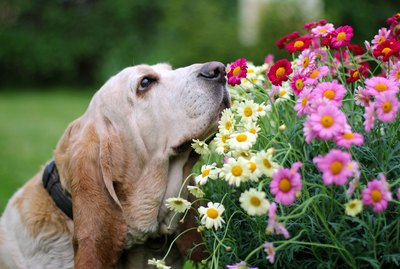 What is a Scent Hound?