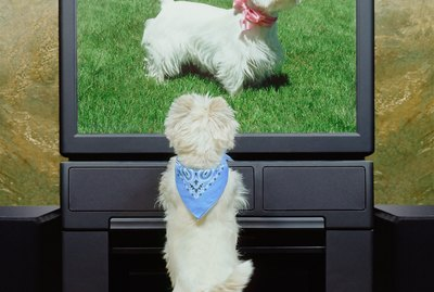 Why Does My Dog Love Watching Other Dogs on TV?