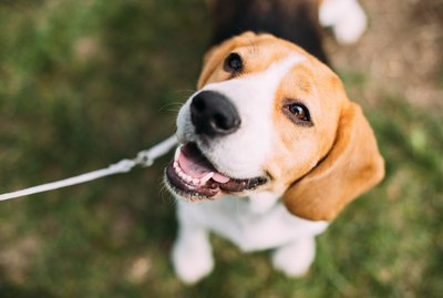 Beagle Dog Breed Facts & Information