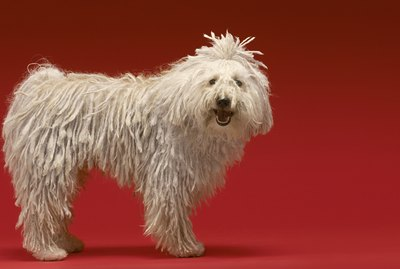 Komondor Dog Breed Facts & Information