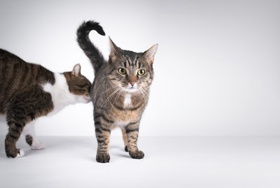 Why Do Cats Sniff Each Other's Butts?