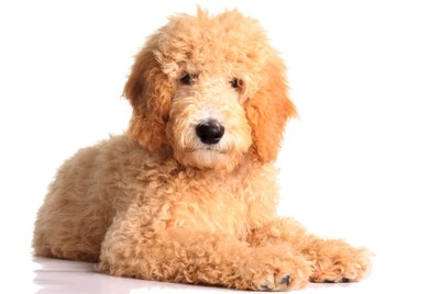 The Best Ways to Shampoo a Goldendoodle