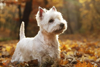What Is the Difference Between Westie and Scottie Dogs?