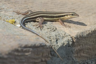 How to Care for a Blue-Tailed Skink