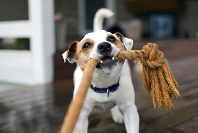 Why Do Dogs Like Tug Of War So Much?
