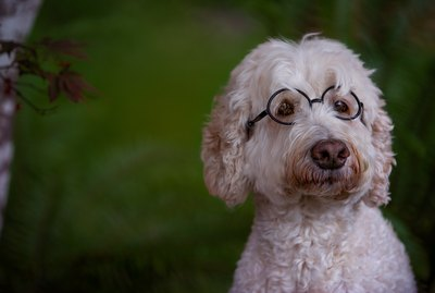 Can Dogs Need Glasses?