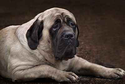Differences Between a Mastiff & a Bullmastiff