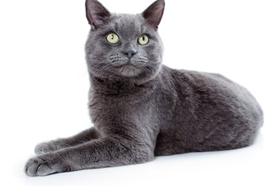 Korat Cat Breed Facts & Information