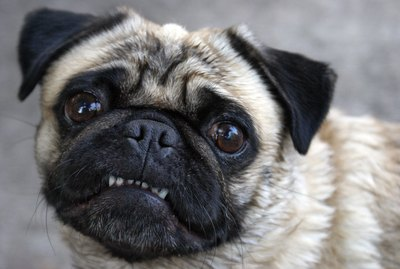 What is a Submissive Grin in Dogs?