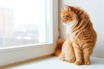 Why Do Cats Love Looking Out Windows?