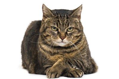 Do Cats Feel Jealousy?