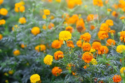 Are Marigolds Toxic To Cats and Dogs?