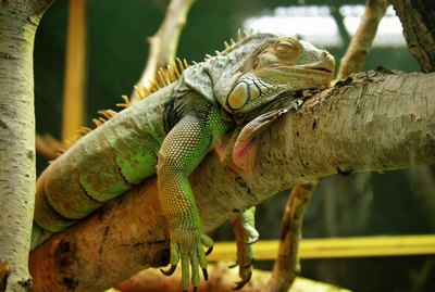 Iguanas Are Freezing & Falling Out Of Trees In Florida